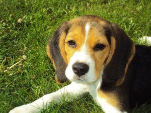 beagle kölyök