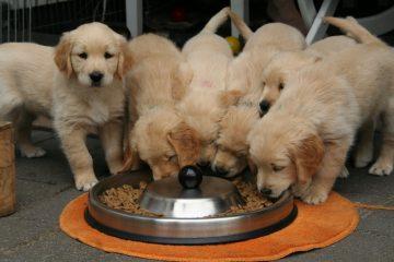 feeding dogs