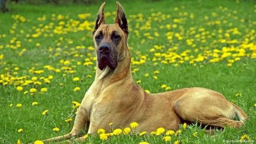német dog
